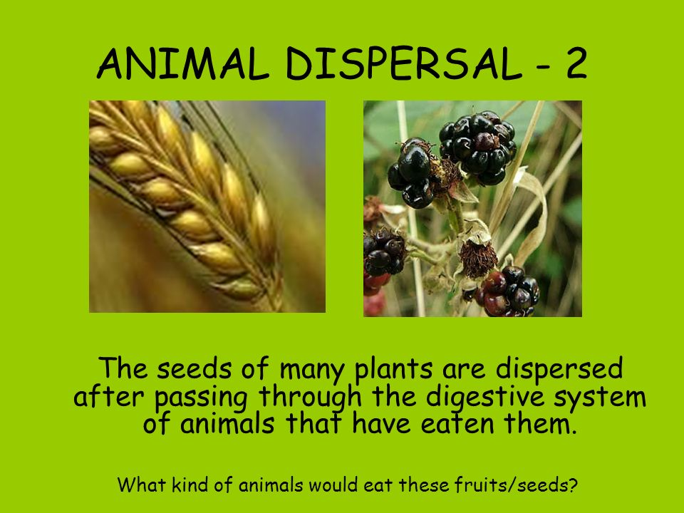 ANIMAL DISPERSAL - 1 Some species of plant use hooks on their fruits to attach themselves to the fur of mammals or feathers of birds… or even the clot