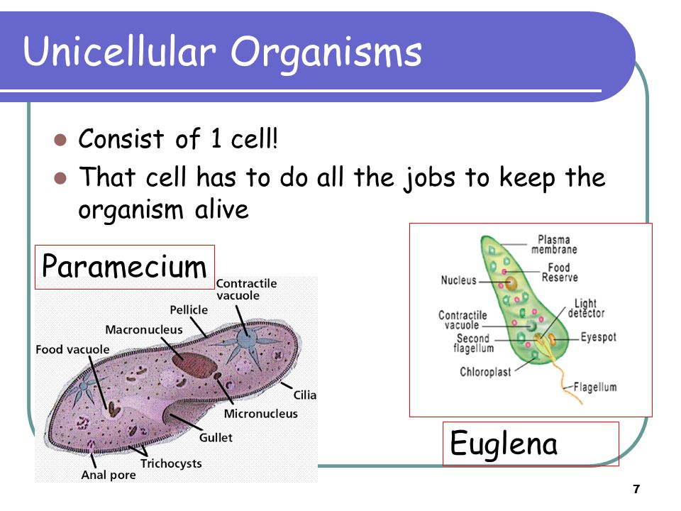 7 Unicellular Organisms Consist of 1 cell! That cell has to do all the jobs to keep the organism alive Euglena Paramecium
