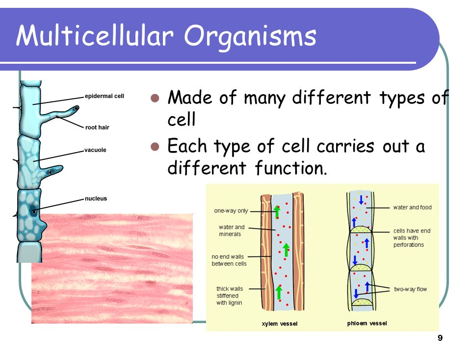 9 Multicellular Organisms Made of many different types of cell Each type of cell carries out a different function.