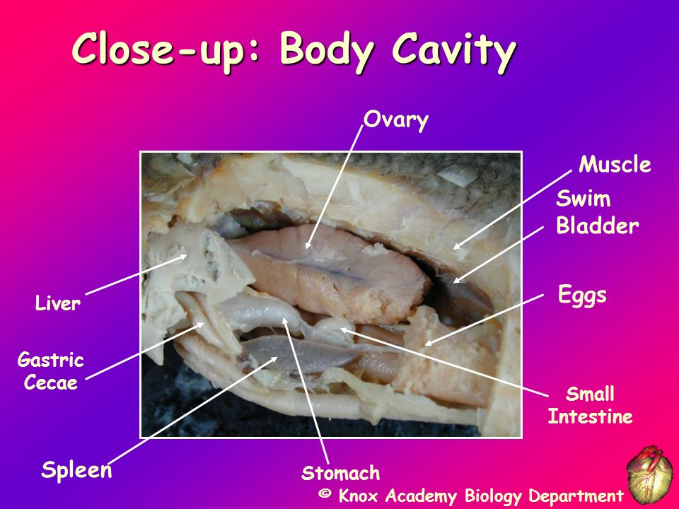 © Knox Academy Biology Department Posterior View 1. Swim bladder 2. Gonad 3. Large intestine 4. Urinary bladder 5. Anus