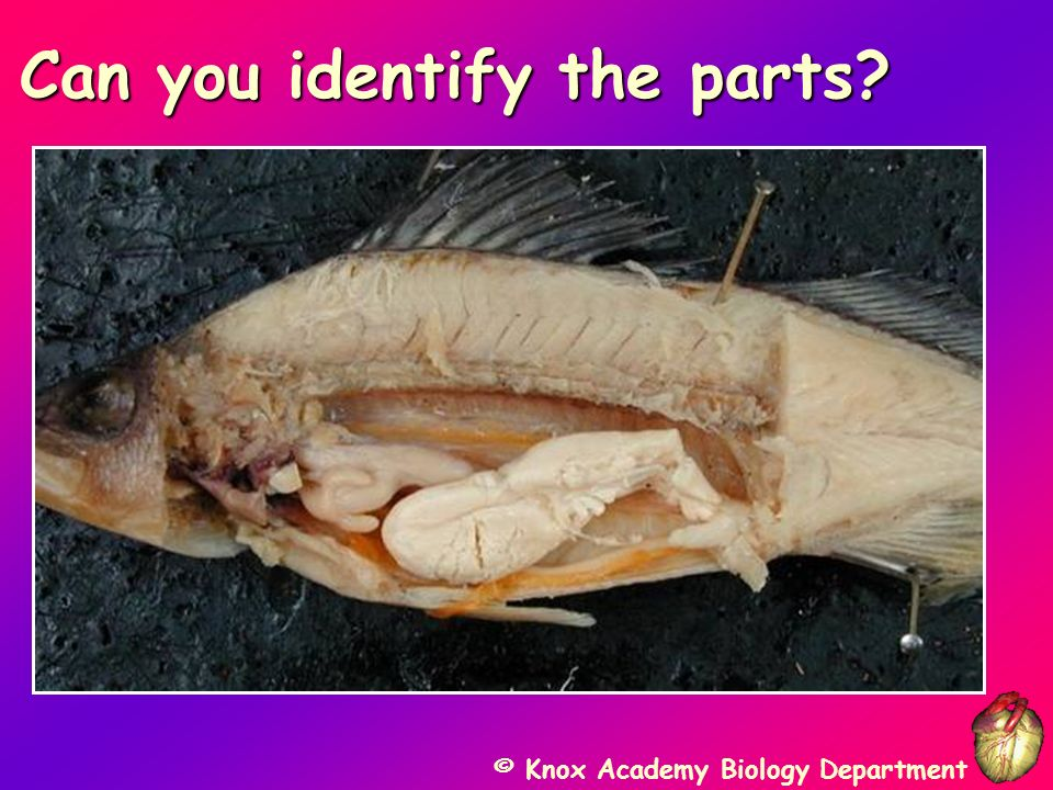 © Knox Academy Biology Department Close-up: Body Cavity Close-up: Body Cavity Muscle Swim Bladder Liver Spleen Gastric Cecae Eggs Stomach Ovary Small