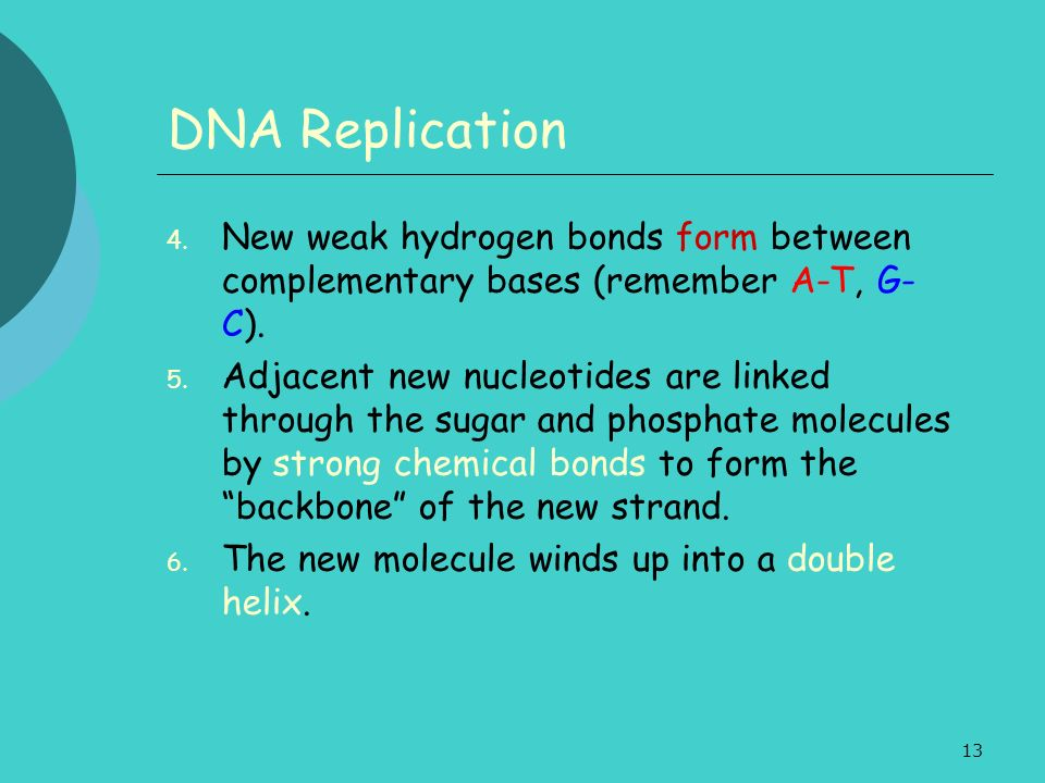 13 DNA Replication 4. New weak hydrogen bonds form between complementary bases (remember A-T, G- C). 5. Adjacent new nucleotides are linked through th