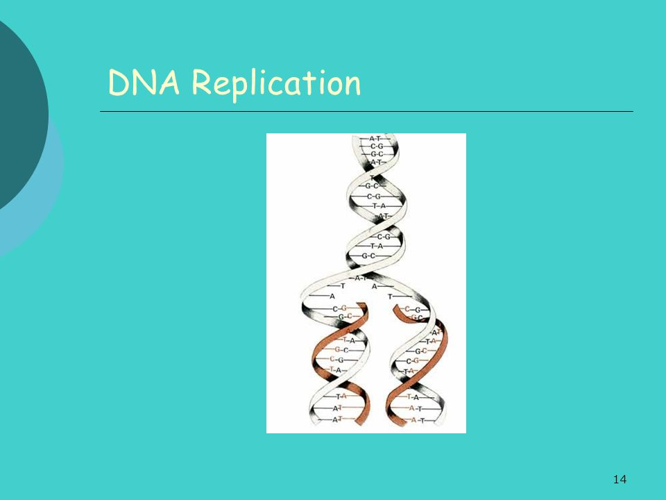 14 DNA Replication
