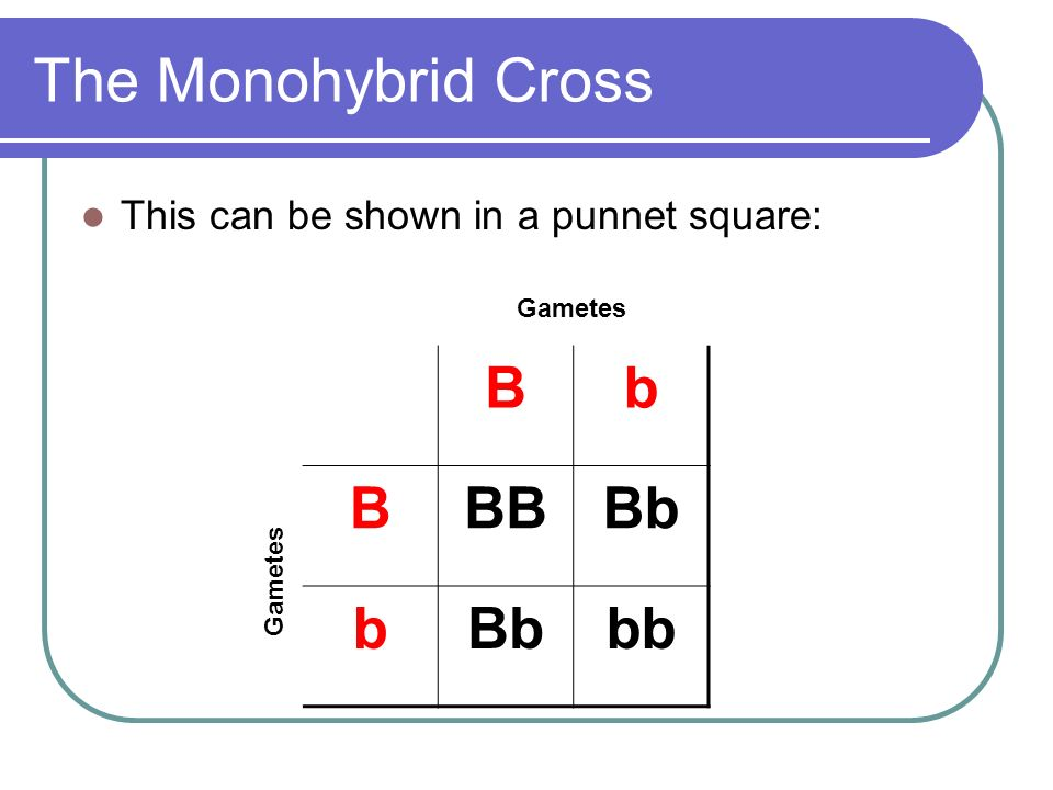 The Monohybrid Cross This can be shown in a punnet square: Bb BBBBb b bb Gametes