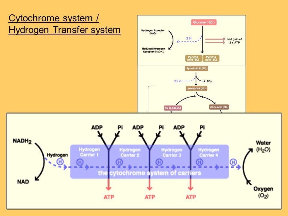 Cytochrome system / Hydrogen Transfer system