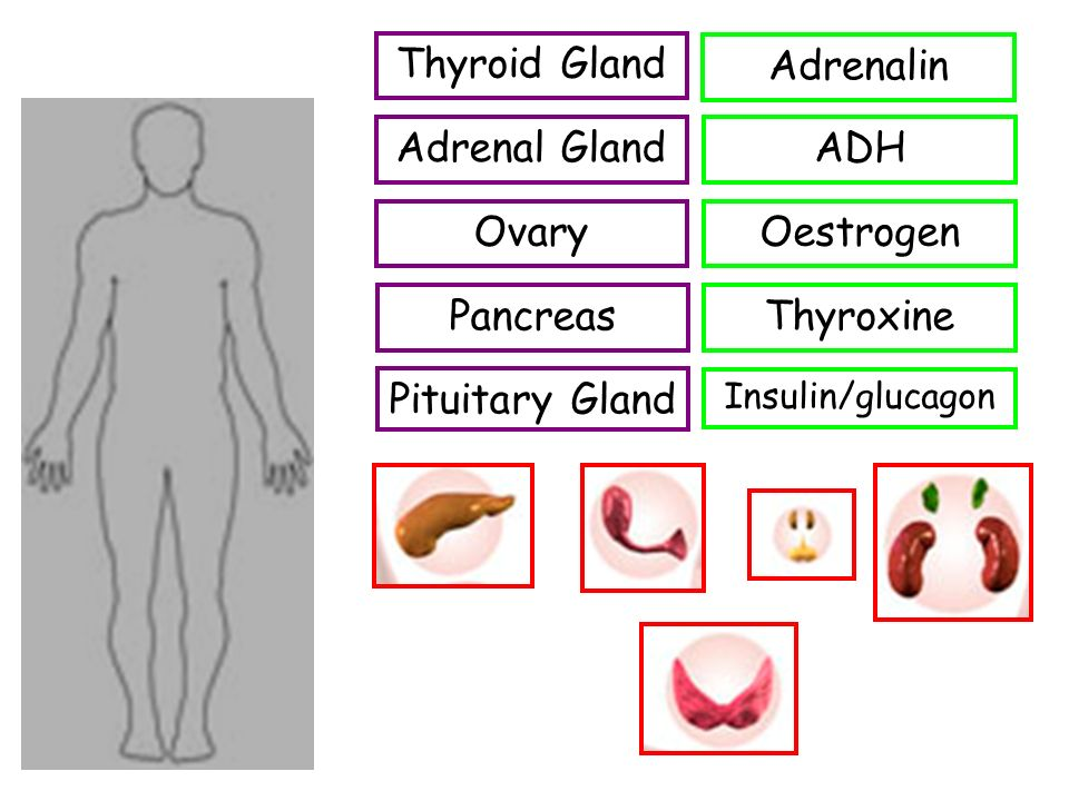 Thyroid Gland Adrenal Gland Ovary Pancreas Pituitary Gland Thyroxine Insulin/glucagon Adrenalin Oestrogen ADH