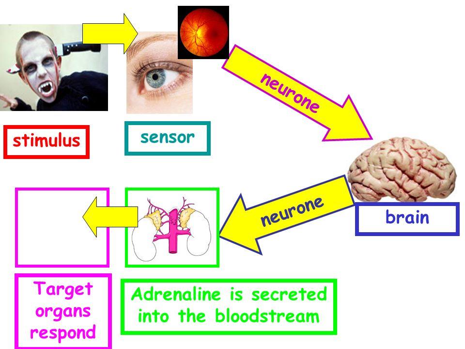 stimulus sensor neurone Adrenaline is secreted into the bloodstream Target organs respond brain