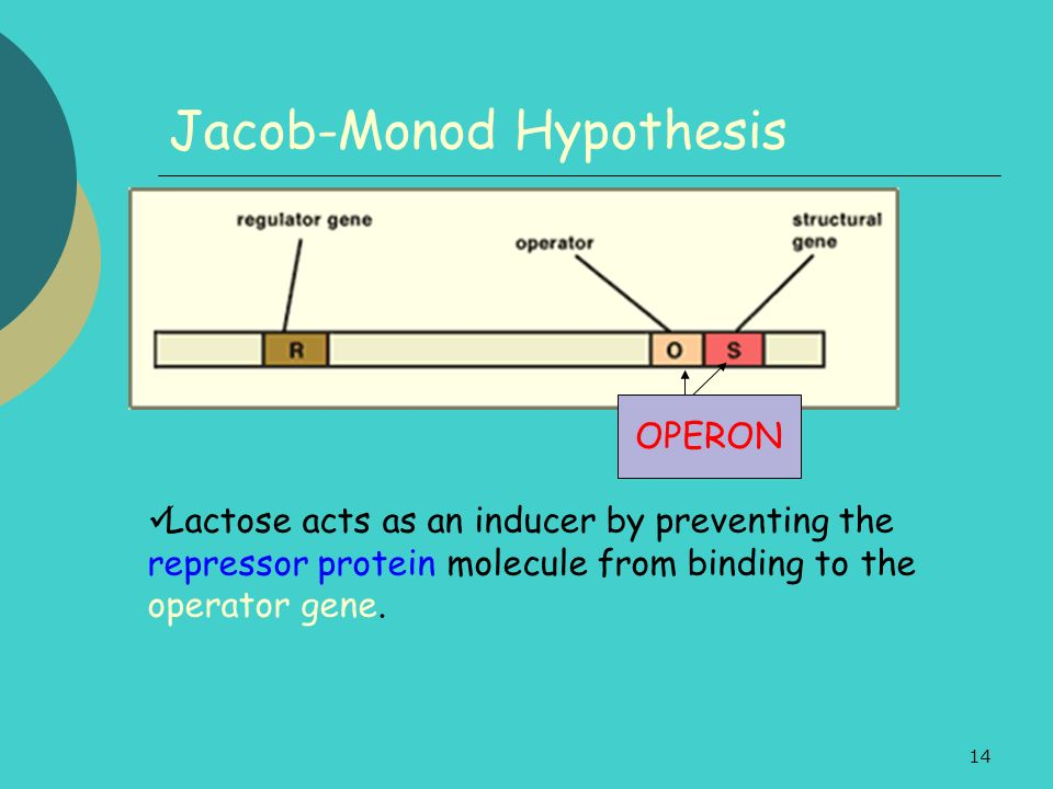 14 Jacob-Monod Hypothesis Lactose acts as an inducer by preventing the repressor protein molecule from binding to the operator gene.
