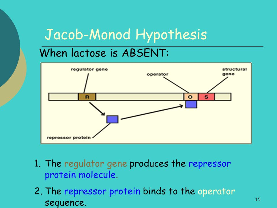 15 Jacob-Monod Hypothesis 1.The regulator gene produces the repressor protein molecule. 2.The repressor protein binds to the operator sequence. When l