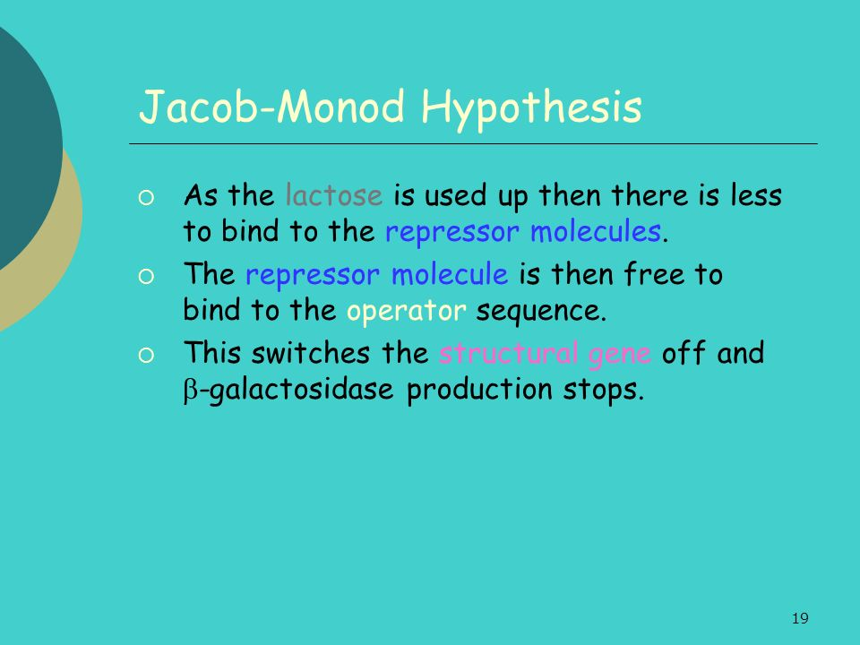 19 Jacob-Monod Hypothesis As the lactose is used up then there is less to bind to the repressor molecules.