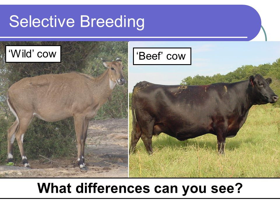 Selective Breeding Wild cow Beef cow What differences can you see?