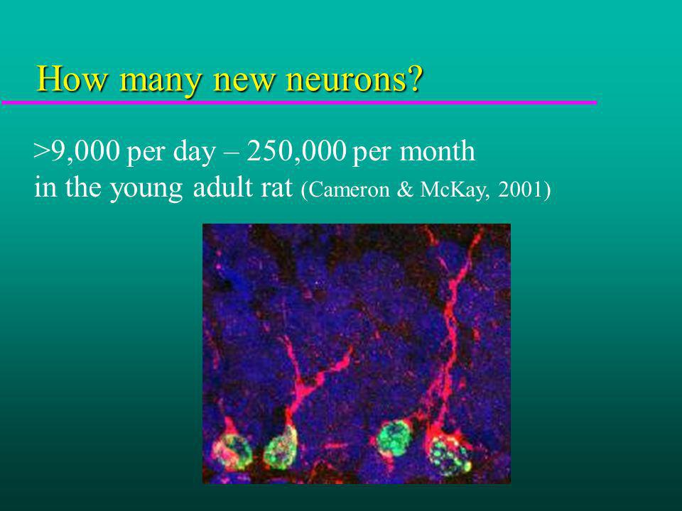 How many new neurons? >9,000 per day – 250,000 per month in the young adult rat (Cameron & McKay, 2001)
