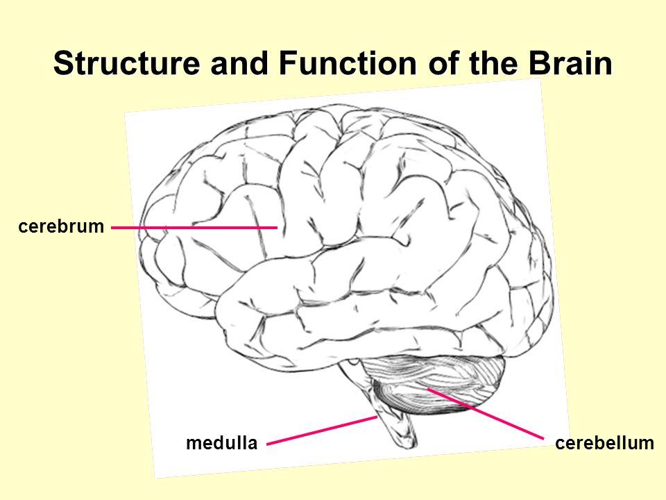 cerebrum cerebellummedulla