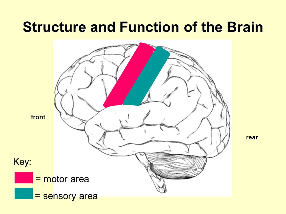 Structure and Function of the Brain Key: = motor area = sensory area front rear