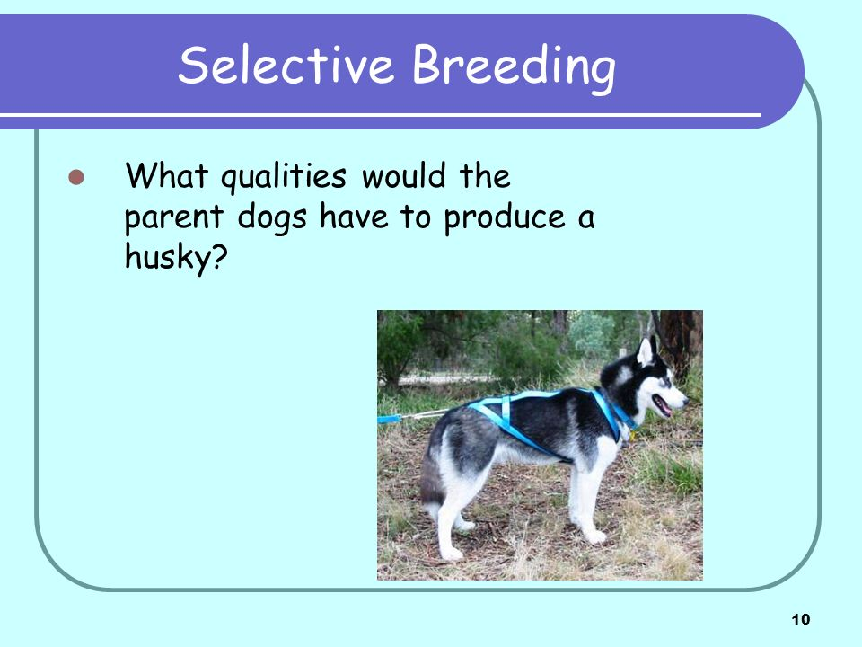 10 Selective Breeding What qualities would the parent dogs have to produce a husky?