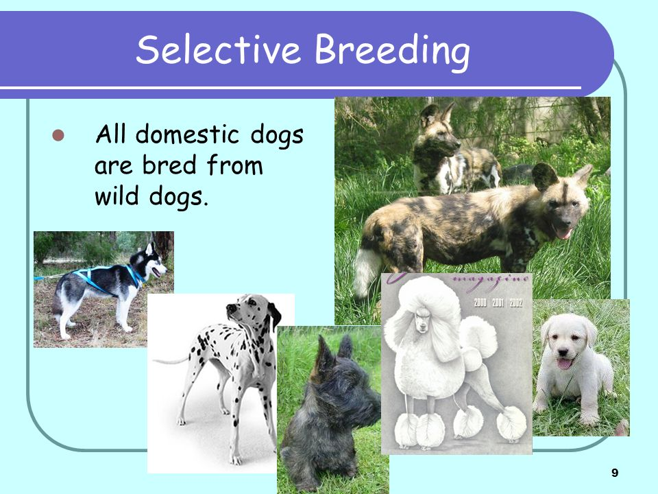 9 Selective Breeding All domestic dogs are bred from wild dogs.