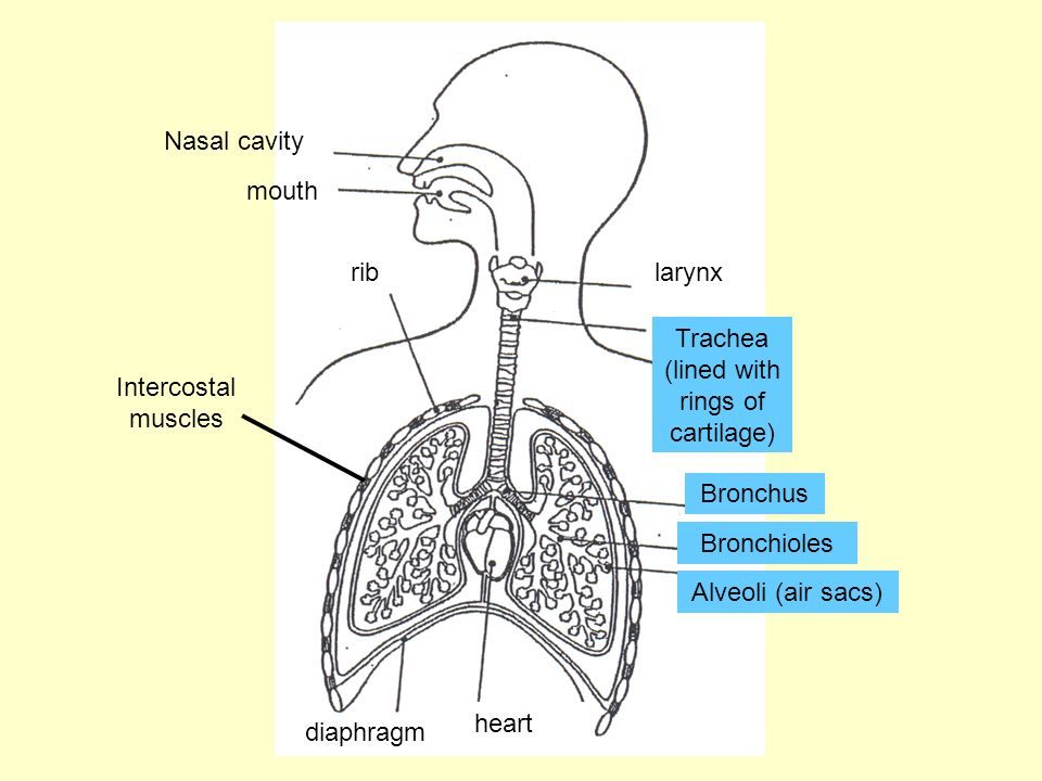 The Lungs The lungs are spongy/hard organs enclosed in the _______________. The _______________ (windpipe) branches into two ___________ each of which