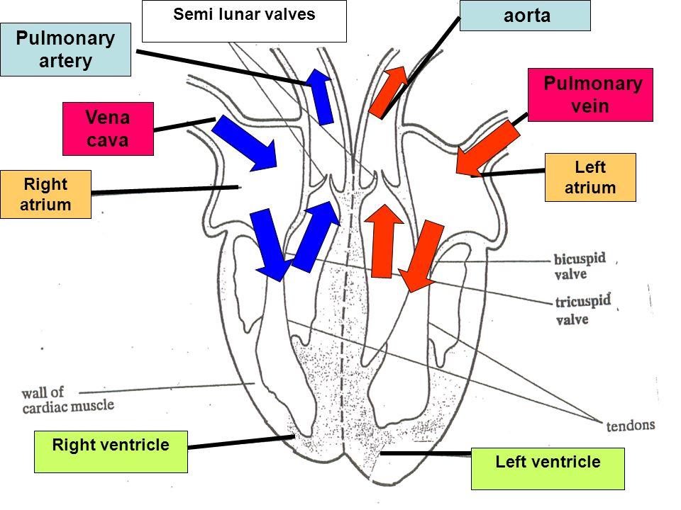 Head & Body Vena cava Right atrium Pulmonary vein Left atrium Right ventricle Pulmonary artery Lungs Left ventricle Aorta Head & Body