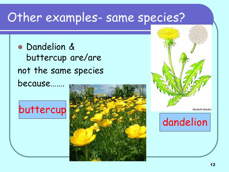12 Other examples- same species? Dandelion & buttercup are/are not the same species because……. buttercup dandelion