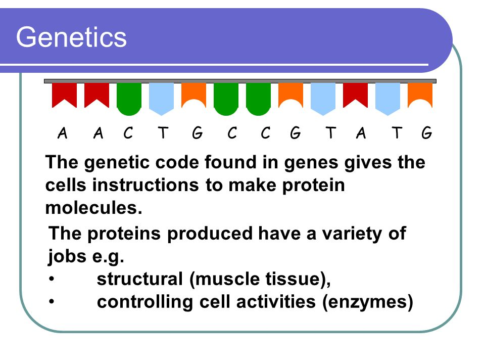 Genetics A A C T G C C G T A T G The genetic code found in genes gives the cells instructions to make protein molecules. The proteins produced have a