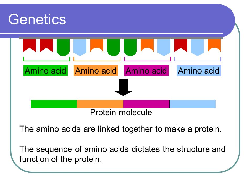 Genetics Amino acid Protein molecule The amino acids are linked together to make a protein. The sequence of amino acids dictates the structure and fun