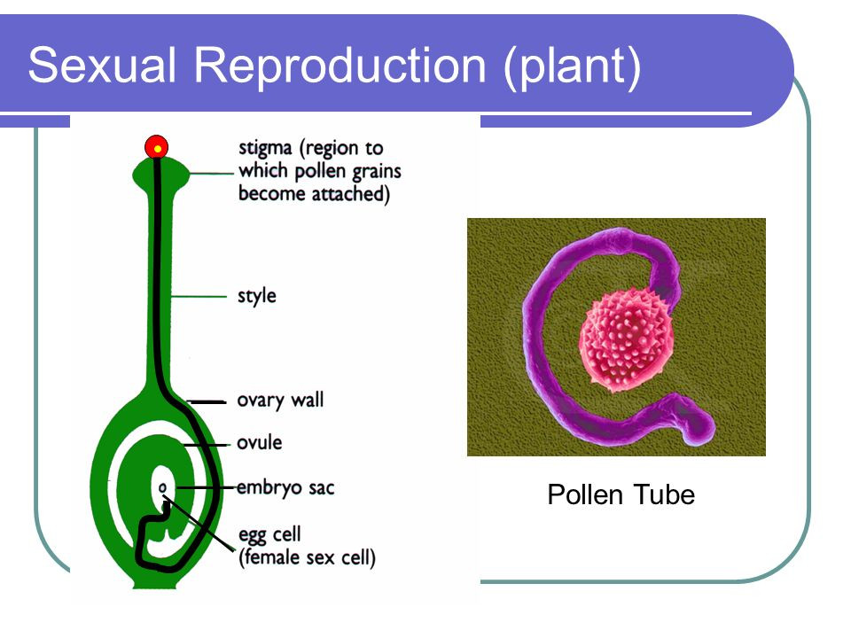 Sexual Reproduction (plant) Pollen Tube