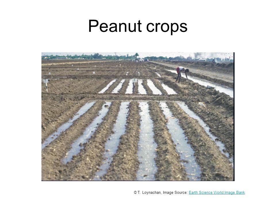Peanut crops © T.
