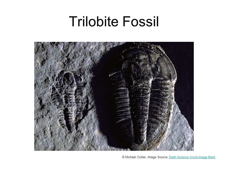 Trilobite Fossil © Michael Collier, Image Source: Earth Science World Image BankEarth Science World Image Bank