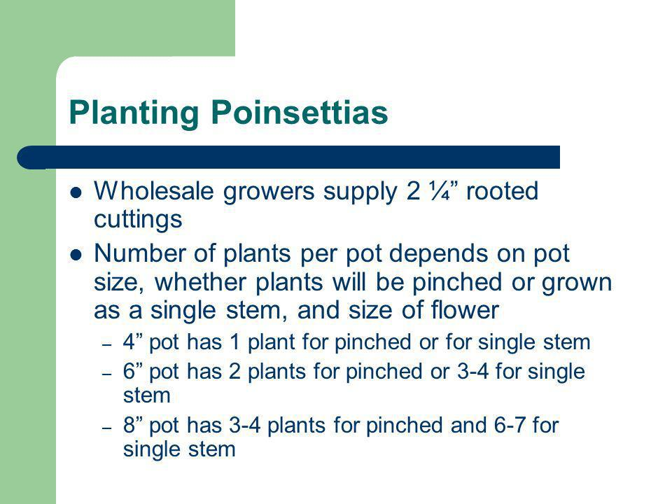 Planting Poinsettias Wholesale growers supply 2 ¼ rooted cuttings Number of plants per pot depends on pot size, whether plants will be pinched or grow