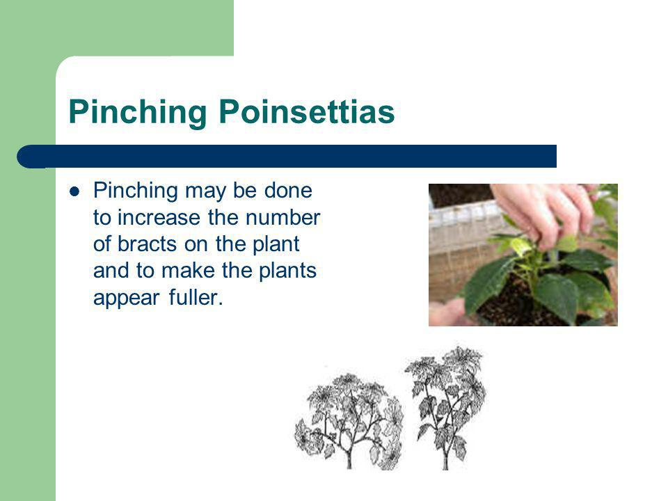 Pinching Poinsettias Pinching may be done to increase the number of bracts on the plant and to make the plants appear fuller.