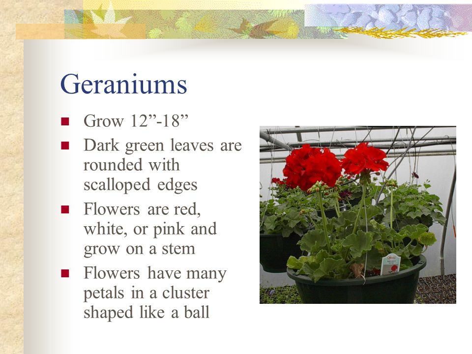 Geraniums Grow 12-18 Dark green leaves are rounded with scalloped edges Flowers are red, white, or pink and grow on a stem Flowers have many petals in