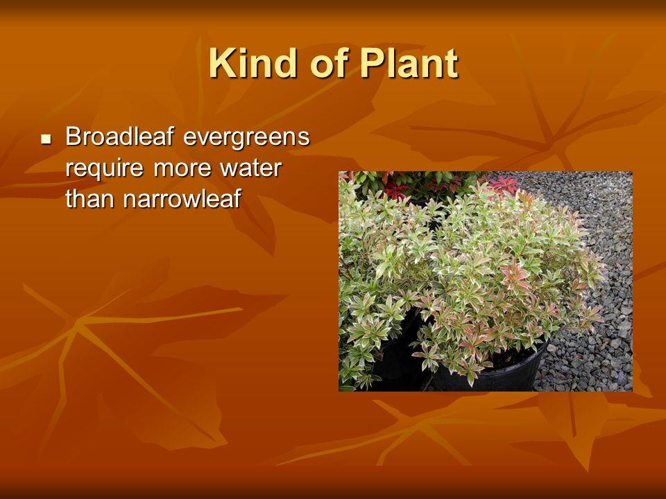Kind of Plant Broadleaf evergreens require more water than narrowleaf Broadleaf evergreens require more water than narrowleaf