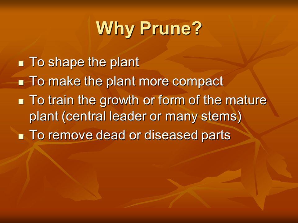Why Prune? To shape the plant To shape the plant To make the plant more compact To make the plant more compact To train the growth or form of the matu