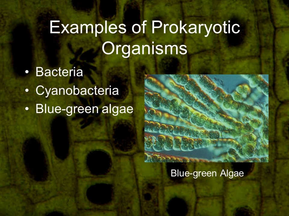 Examples of Prokaryotic Organisms Bacteria Cyanobacteria Blue-green algae Blue-green Algae