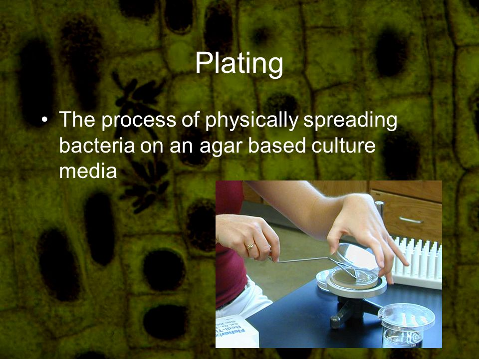 Plating The process of physically spreading bacteria on an agar based culture media