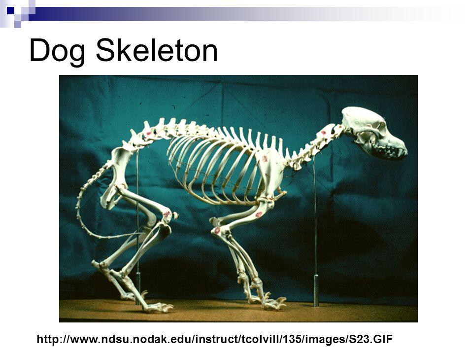 Dog Skeleton http://images.encarta.msn.com/xrefmedia/aencmed/targets/illus/ilt/000f09ca.gif