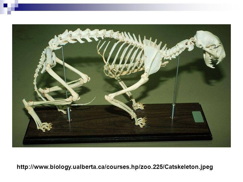 http://www.uoguelph.ca/~mammals/CatSkeleton.jpg