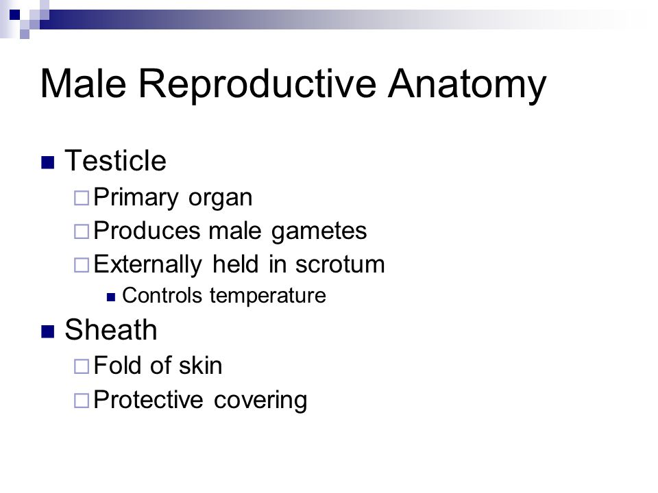 Female Reproductive Anatomy Vagina Reproductive passageway Urine excretion Vulva External opening of reproductive tract