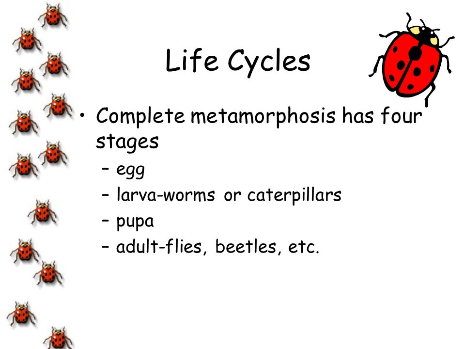 Life Cycles Incomplete metamorphosis has three stages –egg –nymph –adult