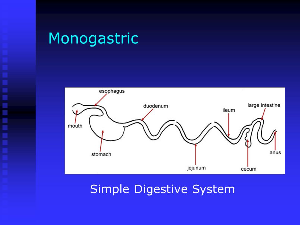Monogastric Simple Digestive System