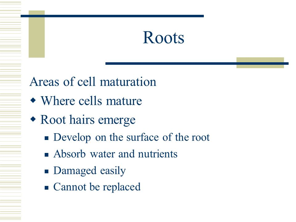 Roots Areas of cell maturation Where cells mature Root hairs emerge Develop on the surface of the root Absorb water and nutrients Damaged easily Canno