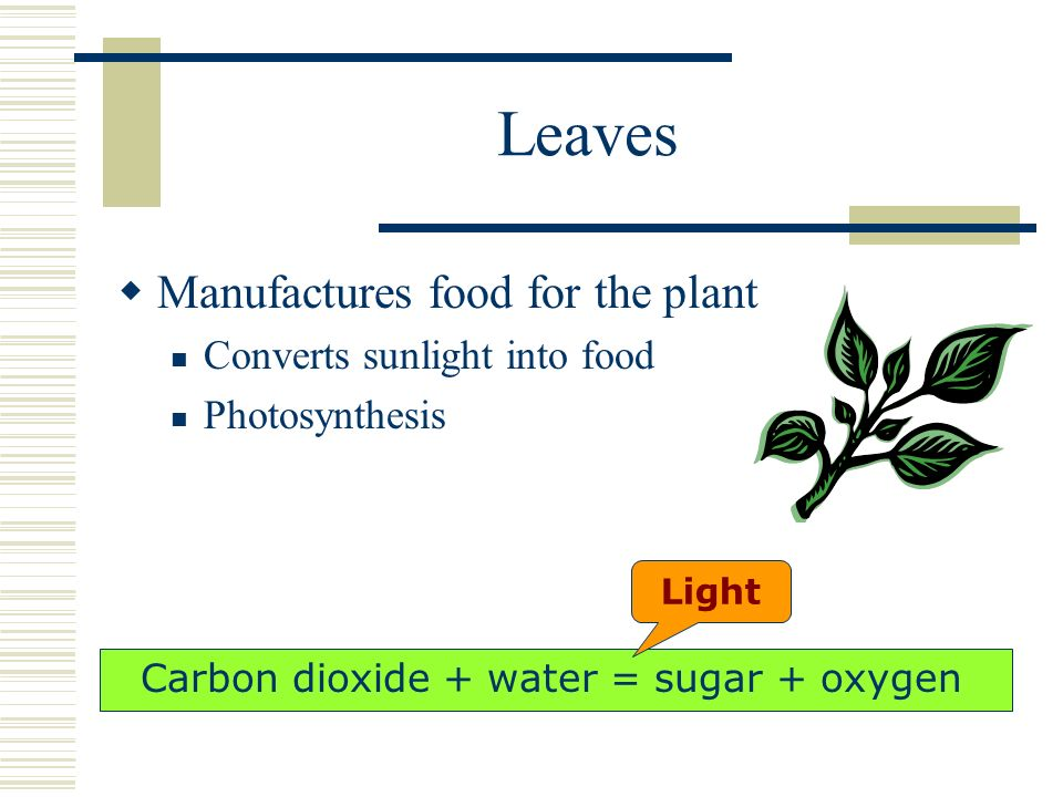 Leaves Manufactures food for the plant Converts sunlight into food Photosynthesis Light Carbon dioxide + water = sugar + oxygen