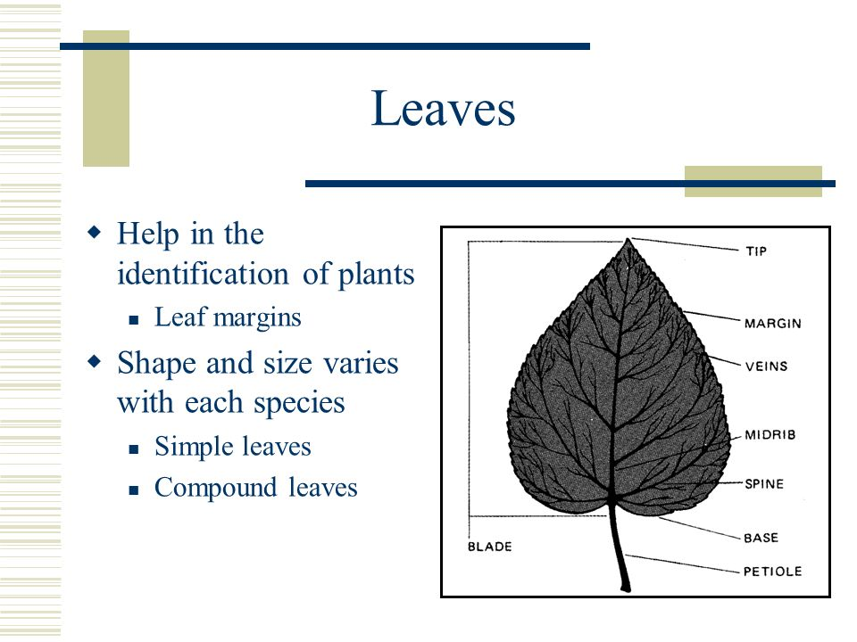 Leaves Help in the identification of plants Leaf margins Shape and size varies with each species Simple leaves Compound leaves