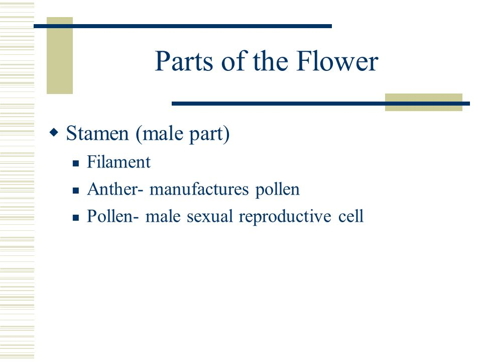 Parts of the Flower Stamen (male part) Filament Anther- manufactures pollen Pollen- male sexual reproductive cell