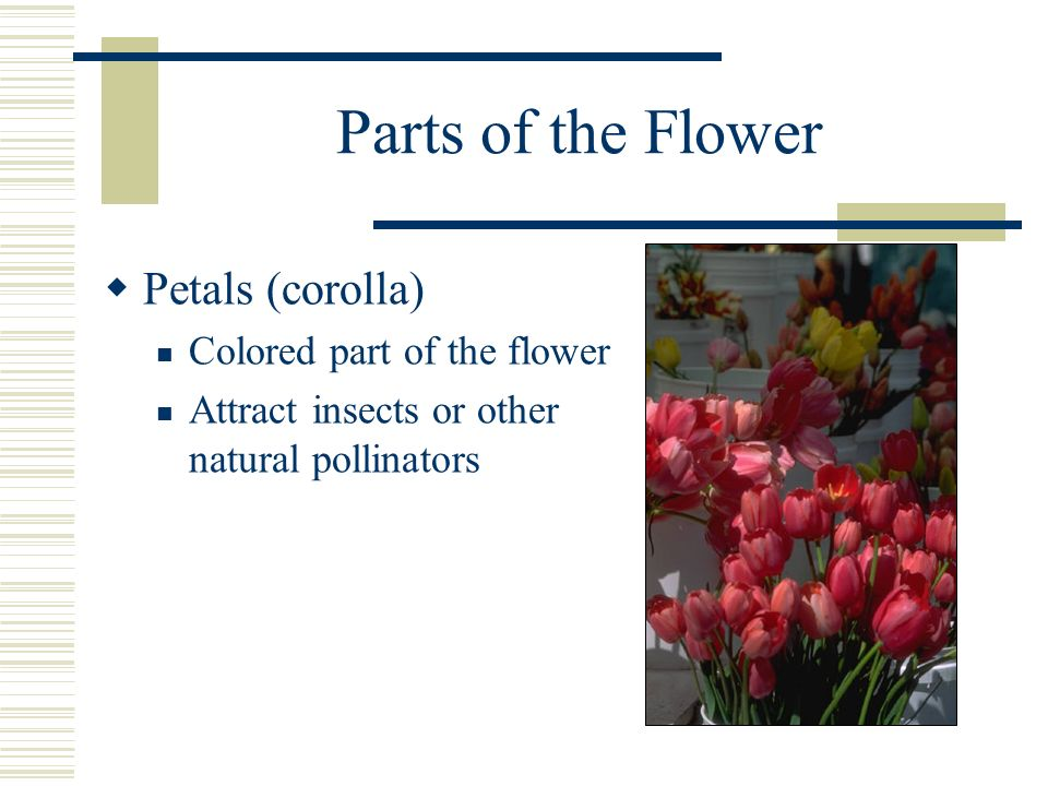 Parts of the Flower Petals (corolla) Colored part of the flower Attract insects or other natural pollinators