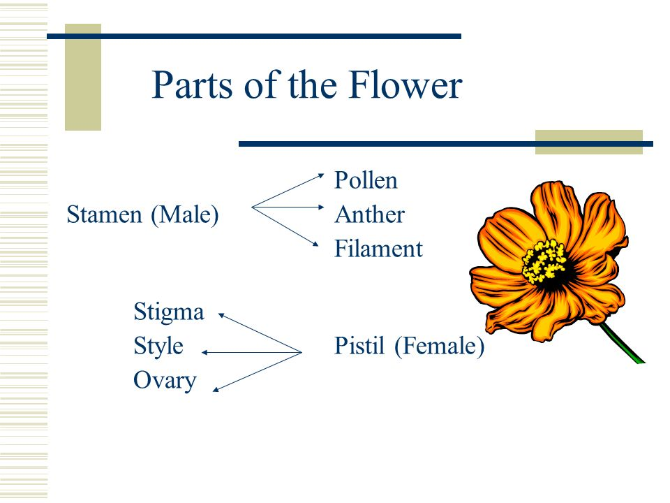 Parts of the Flower Pollen Stamen (Male)Anther Filament Stigma StylePistil (Female) Ovary