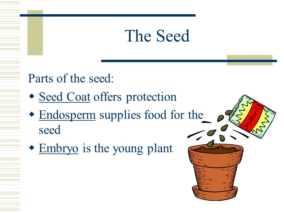 The Seed Parts of the seed: Seed Coat offers protection Endosperm supplies food for the seed Embryo is the young plant
