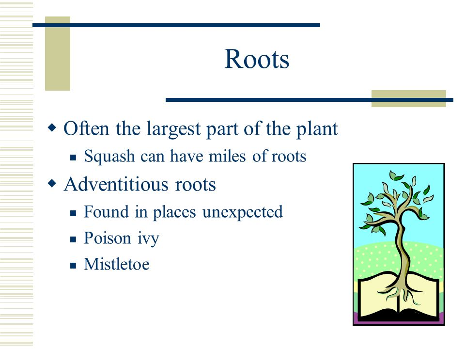 Roots Often the largest part of the plant Squash can have miles of roots Adventitious roots Found in places unexpected Poison ivy Mistletoe