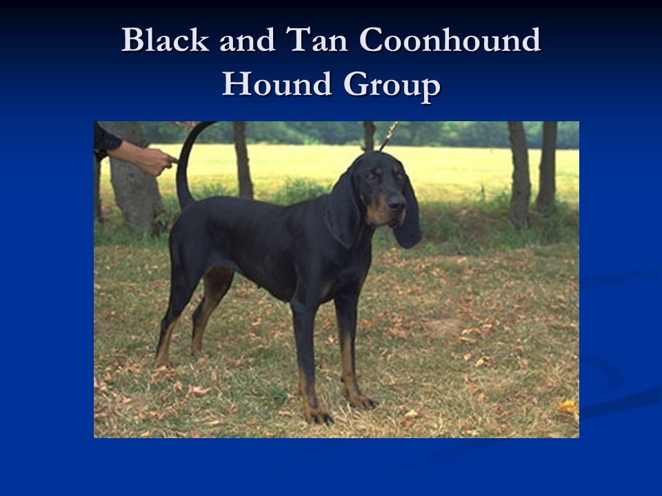 Black and Tan Coonhound Hound Group