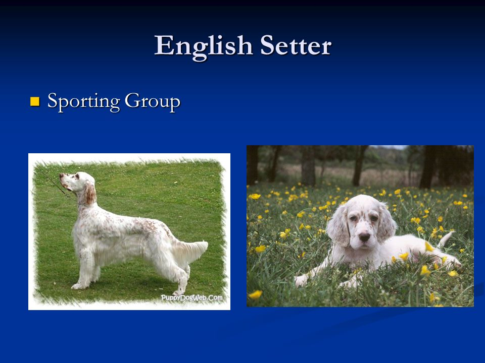 English Setter Sporting Group Sporting Group